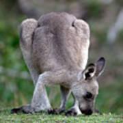 Grazing Kangaroo Art Print