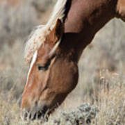 Grazing Wild Horse  Art Print