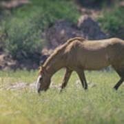 Grazing Wild Mustang  Art Print