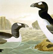 Great Auk (alka Impennis): Art Print