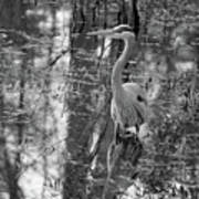 Great Blue Heron And Reflection-black And White Art Print