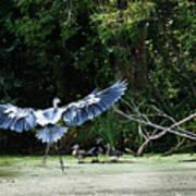 Great Blue Heron And Wood Ducks Art Print