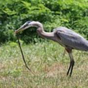 Great Blue Heron Eating Snake  Art Print