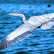 Great Blue Heron Flight Art Print