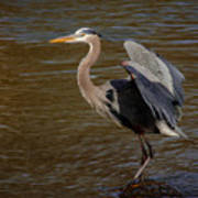 Great Blue Heron - Flooded Creek Art Print