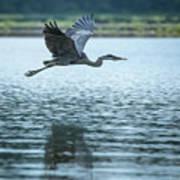 Great Blue Heron Flying Art Print
