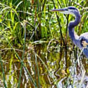 Great Blue Heron In The Wetlands Art Print