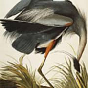 Great Blue Heron Art Print by John James Audubon