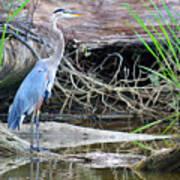 Great Blue Heron Art Print