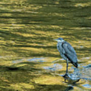 Great Blue Heron On A Golden River Art Print