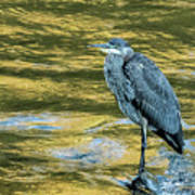 Great Blue Heron On A Golden River Vertical Art Print