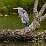 Great Blue Heron On Log Art Print