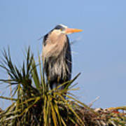 Great Blue Heron On Nest In A Palm Tree Art Print