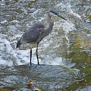 Great Blue Heron Standing In Stream Art Print