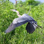 Great Blue Heron Takeoff Art Print