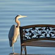 Great Blue Heron....resting My Leg Art Print