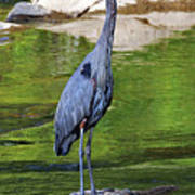 Great Blue Wading The Tuck Art Print