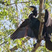 Great Cormorant - High In The Tree Art Print