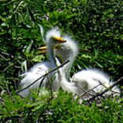 Great Egret Chicks 1 Art Print