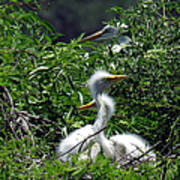 Great Egret Chicks 2 Art Print