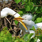 Great Egret Chicks And Mom Art Print