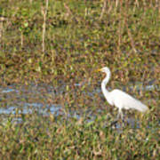 Great Egret Fishing Art Print