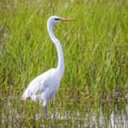 Great Egret In The Spring  Art Print