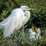 Great Egret Mom And Babies Art Print
