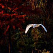 Great Egret Paradise Flight Art Print