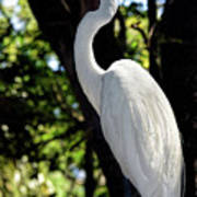 Great Egret Up Close Art Print