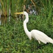 Great Egret Walking Art Print