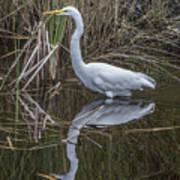 Great Egret With Reflection Art Print