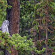 Great Gray Owl Perched Art Print