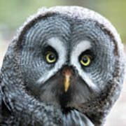 Great Grey Owl Closeup Art Print