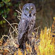 Great Grey Owl Portrait Art Print