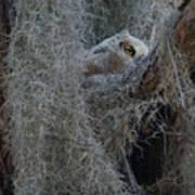 Great Horned Owl Fledgling Art Print