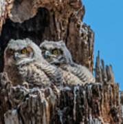 Great Horned Owlets Art Print