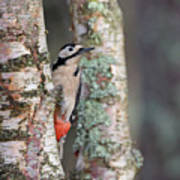 Great Spotted Woodpecker Art Print