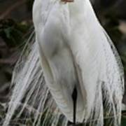 Great White Egret Windblown Art Print