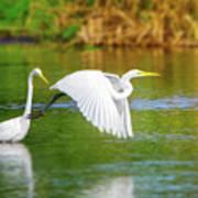 Great White Egrets Art Print