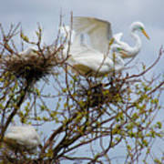 Great Egrets, Nest Building Art Print