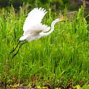 Great White Heron Takeoff Art Print