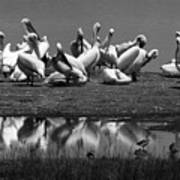 Great White Pelicans, Lake Nakuru, Kenya Art Print