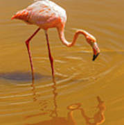 Greater Flamingo In The Water At Galapagos Islands Art Print