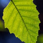 Green Beech Leaf 1 Art Print
