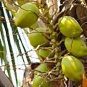 Green Coconut Art Print