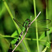 Green Dragonfly Art Print