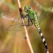 Green Dragonfly Closeup Art Print