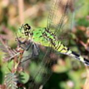 Green Dragonfly Macro Art Print