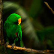 Green Eclectus Parrot Male Art Print